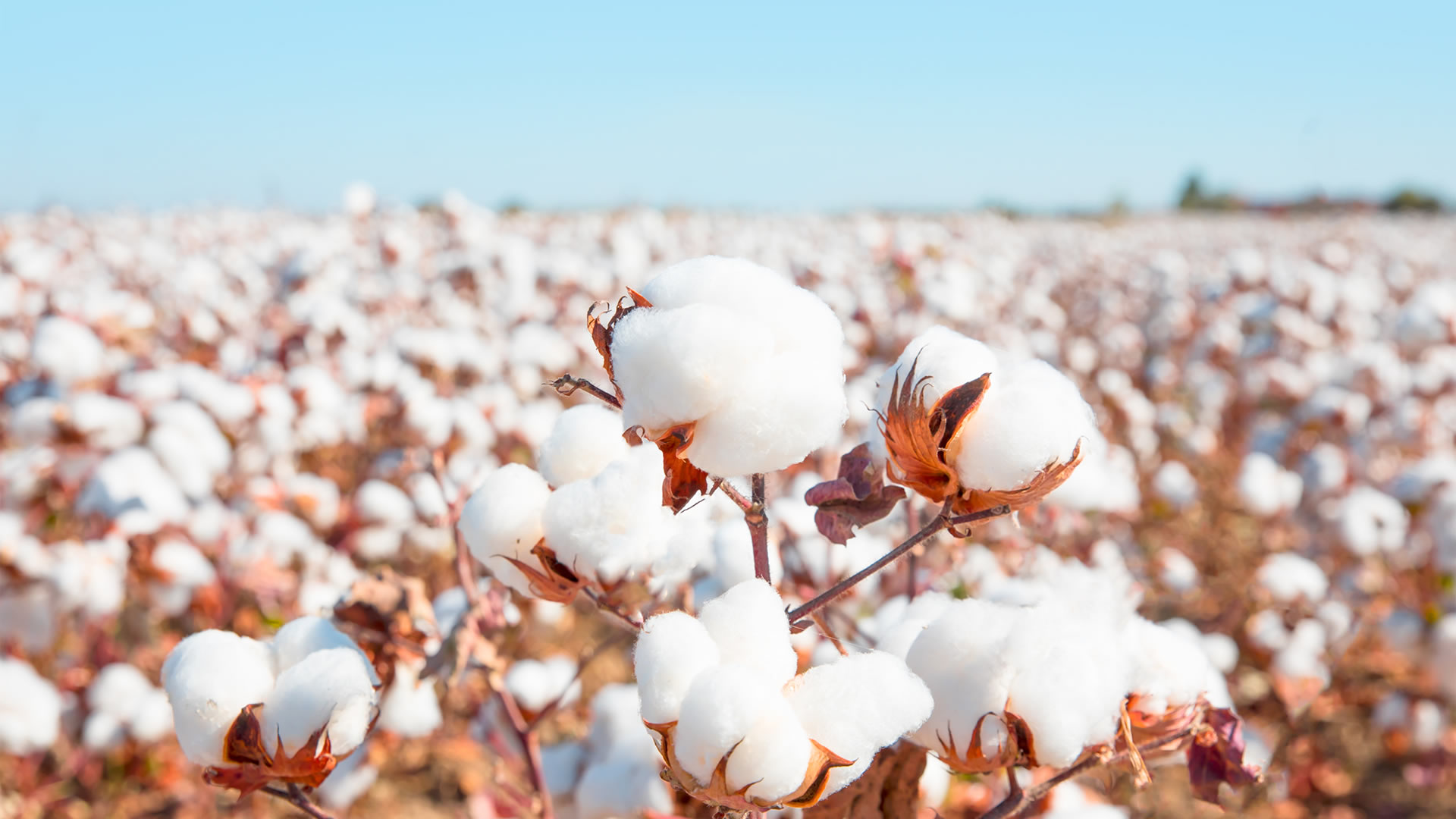 Cotton prices in Pakistan pushed to an 11 year high